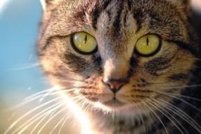 Cat, Feline, Animals, Pets