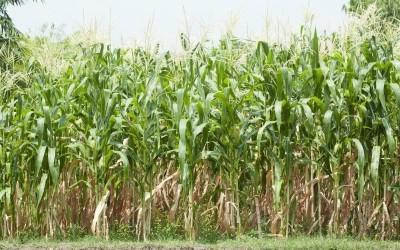 Corn2015